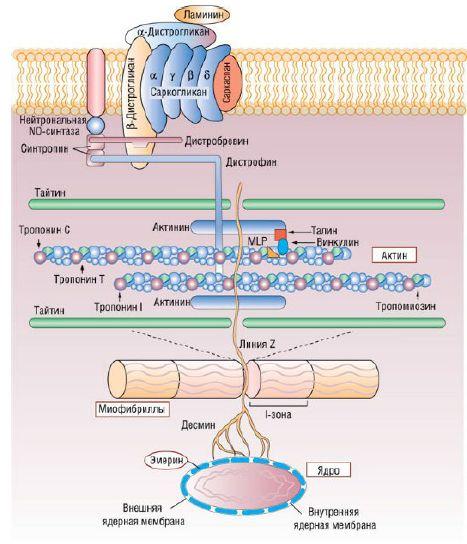 Белки кардиомиоцитов и пути их вовлечения в патогенез кардиомиопатии: MLP - мышечный белок семейства LIM-белков