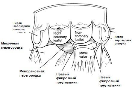 Аортальный клапан - Кардиолог - сайт о заболеваниях сердца и сосудов