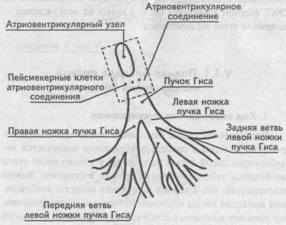 Нарушение внутрижелудочковой проводимости - Кардиолог - сайт о ...